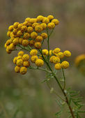 Medicinal raw material of tansy — Stock Photo