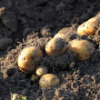 Tubers of potato - Stock Photo