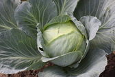 Cabbage a head — Stock Photo
