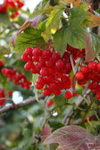 Viburnum opulus — Stock Photo