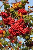 Berries of red wild ash — Stock Photo