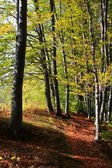 Leafy forest in autumn — Stock Photo