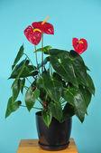 Zimmer pflanze der anthurium mit farben — Stockfoto