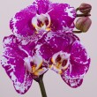 Branch of pink orchid — Stock Photo