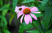 Flower of Echinacea purple — Stock Photo