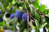 Plum. Branch with garden-stuffs — Stock Photo