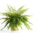 Fern on white background — Stock Photo #12746838
