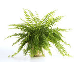 Fern on white background — 图库照片