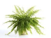 在白色背景上的蕨类植物 — 图库照片