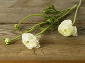 Ranunculus Flower — Stockfoto