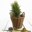 Small Pine Tree — Stockfoto