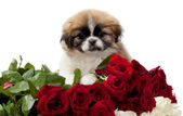 Pekingese with roses — Stock Photo