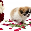 Pekingese with roses — Stock Photo