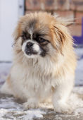 Pekingese winter — Stock Photo