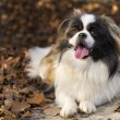 Pekingese dog — Stock Photo #35167321