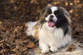 Pekingese dog — Stock Photo