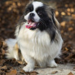 Pekingese dog — Stock Photo #35283227