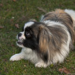 Pekingese dog — Stock Photo #35748049