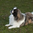 Pekingese dog — Stock Photo #35918819
