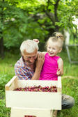 Grandfather with the granddaughter eating cherries — Stock Photo