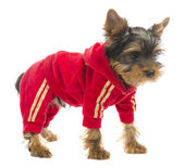 一个穿运动服的狗 — 图库照片