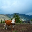 Mountain pasture with cows — Stock Photo