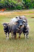 Famiglia di buffalo — Foto Stock