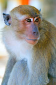 Portrait of a monkey of a macaque — Photo