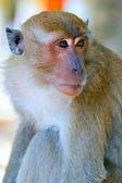 一只猕猴猴子的肖像 — 图库照片