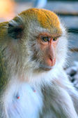 Portrait of an old monkey — Foto Stock