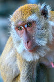 Head of a monkey, macaque — Foto Stock