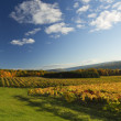 Autumn Vineyard — Stock Photo #14705365