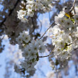 White Cherry Blossom Flowers — Stock Photo