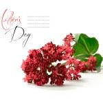 Pentas lanceolata (Ruby Red) — Stock Photo