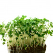 Cress Macro — Stock Photo #29722215