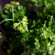 Parsley Plant — Stock Photo