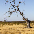 Dead tree on dry land — Stock Photo