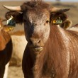 Brown cows — Stock Photo