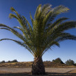 Stock Photo: Date Palm Tree (Phoenix dactylifera)
