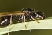 Harvester Ant (Messor barbarus) — Stock Photo