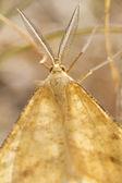 Nocturnal moth (Adactylotis gesticularia) — Stock Photo