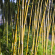 Stock Photo: Decorative bamboo plants