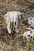 Cranio di pecora — Foto Stock