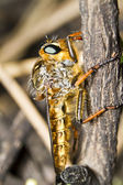 Giant robber fly (proctacanthus rodecki) — Stock Photo