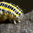 Cabbage caterpillar - Stock Photo
