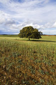 Wheat field with lonely tree — Stock Photo