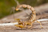 Buthus scorpion — Stock Photo