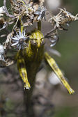 Egyptian grasshopper (anacridium aegyptium) — Stock Photo