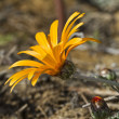 Daybreak Red Stripe Gazania (Gazania rigens) — Stock Photo