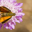 Stock Photo: Lulworth Skipper (Thymelicus acteon)